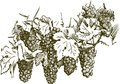 Vector drawing cluster grapes Royalty Free Stock Photos