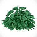 Vector drawing of decorative datura bush with large leaves Royalty Free Stock Images