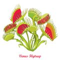 Vector drawing of Venus Flytrap or Dionaea muscipula with open and close trap in red and green isolated on white background.