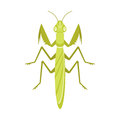 Vector flat style illustration of mantis