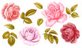 Vector floral set of pink red blue white vintage rose flowers green golden leaves isolated on white background. Digital watercolor Royalty Free Stock Photo