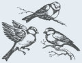 Vector freehand drawing tits sparrows and bullfinches on branc of series of monochrome sketches birds chickadee sparrow bullfinch Royalty Free Stock Photo