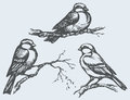 Vector freehand drawing tits sparrows and bullfinches on branc of series of monochrome sketches birds chickadee sparrow bullfinch Stock Photos