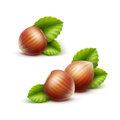 Vector Full Unpeeled Realistic Hazelnuts with Leaves Close up Isolated