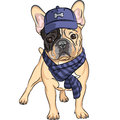 Vector funny cartoon hipster dog french bulldog b breed in a blue cap and scarf Stock Images