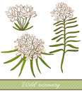 Vector hand drawn colored illustration of wild rosemary