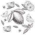 Vector hand drawn lime or lemon set. Whole , sliced pieces half, leave sketch. Fruit engraved style illustration. Retro