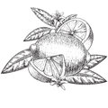 Vector hand drawn lime or lemon. Whole , sliced pieces half, leave sketch. Fruit engraved style illustration. Detailed