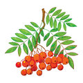 Vector illustration of branch with outline Rowan or Rowanberry, leaves and berry isolated on white. Royalty Free Stock Photo