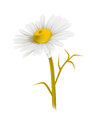 Vector illustration of a camomile Stock Photography