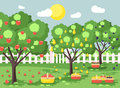 Vector illustration cartoon harvesting ripe fruit autumn orchard garden with plums, pears, apples trees, put crop in Royalty Free Stock Photo