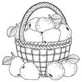 Vector illustration for coloring. Thanksgiving Day. Harvest of apples and pears in a basket