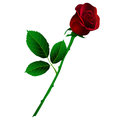 Vector illustration of deep red rose with long stem isolated on white Stock Photo