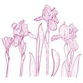 Vector illustration with iris for greeting card irises painted hands line art Stock Photography