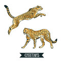 Vector illustration with Leopard / cheetah. Jumping animal.