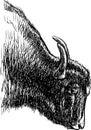 Head of a bull Royalty Free Stock Photo