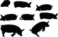 Vector image pig silhouette in lay flat pose isolated on white background illustration Royalty Free Stock Image