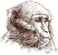 Vector image of a sketch of the head of a monkey Royalty Free Stock Images