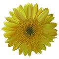 Vector image sunny bright yellow Barberton daisy (Gerbera jameso)