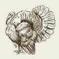 Vector image of a turkey. Domestic bird.