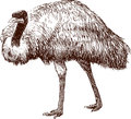 Vector image walking emu Stock Image