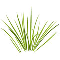 Vector isolated reed. Water plants in different variants, white background. Royalty Free Stock Photo