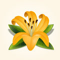 Vector lily flower on white Royalty Free Stock Images