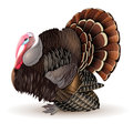 Vector male turkey illustration of thanksgiving cock Royalty Free Stock Photos