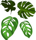 Vector Monstera leaves Stock Photography
