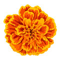 Vector orange marigold flower isolated on white background Stock Photography