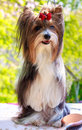 Vector pedigreed dog biewer yorkshire terrier red and black stands on his hind legs Royalty Free Stock Images