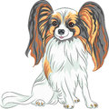 Vector pedigreed dog papillon breed color sketch red and black with long shaggy ears Royalty Free Stock Images