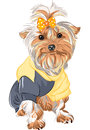 Vector Pedigreed dog Yorkshire terrier sitting Stock Photo