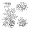 Vector peonies set of in vintage engraving style Royalty Free Stock Images