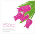 Vector pink tulips with drops of dew Stock Images