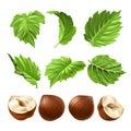 Vector realistic illustration of a peeled hazelnut and green hazel leaves