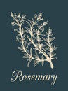 Vector rosemary branch illustration. Hand drawn sketch of cosmetic plant in engraving style. Botanical illustration.