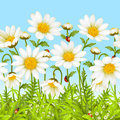 Vector seamless background with camomile