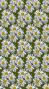 Vector seamless pattern with chamomile