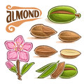 Vector set of Almond Nuts