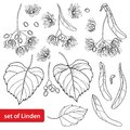 Vector set with outline Linden or Tilia or Basswood flower bunch, bract, fruit and ornate leaf in black isolated on white.