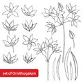 Vector set with outline Ornithogalum or Star-of-Bethlehem flower bunch, bud and leaves in black isolated on white background. Royalty Free Stock Photo