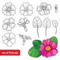 Vector set with outline Primula or Primrose flower, leaves and bud in black and pink isolated on white background. Spring blossom. Royalty Free Stock Photo