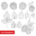 Vector set with outline Raspberry, bunch, berry, flower and leaves in black on white background. Fruit element.