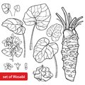 Vector set of outline Wasabi or Japanese horseradish, leaf, root, raw and flower in black isolated on white background.