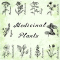 Vector set of 10 plants - yarrow, echinacea, tansy, calendula, thyme, mint, chamomile, plantain, fireweeed, dandelion