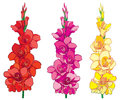 Vector set with red, pink and yellow Gladiolus or sword lily flower bunch isolated on white background. Floral contour elements. Royalty Free Stock Photo