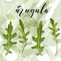 Vector Set Of Salad arugula on a colourful background. Royalty Free Stock Photo
