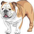 Vector Sketch dog English Bulldog breed Stock Image