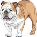 vector Sketch dog English Bulldog breed Royalty Free Stock Photo